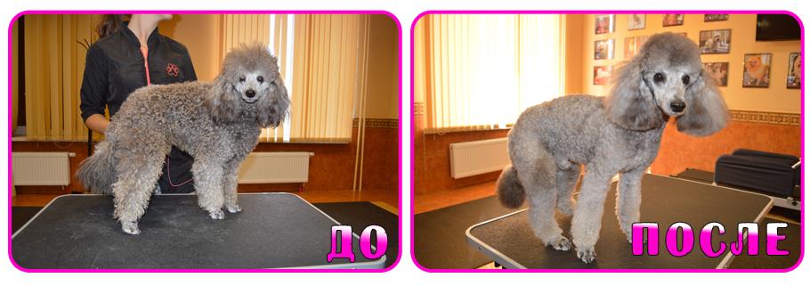 Как подстригать пуделя в домашних условиях 230